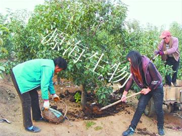 苹果树有机肥施肥用量