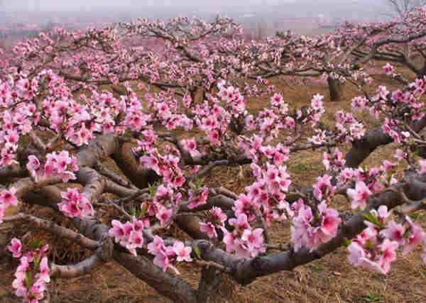 桃树有机肥施肥技术