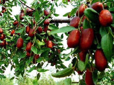 不看后悔,枣树施用有机肥的详解