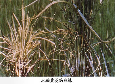 水稻种植中的常见问题