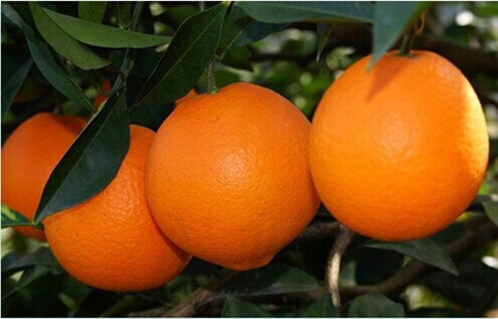 脐橙有机肥应用效果及发展对策