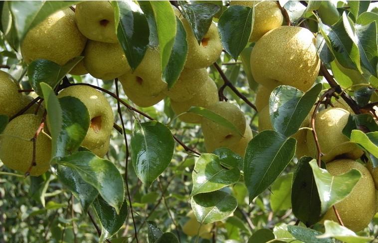 有机肥在梨树生长中的作用